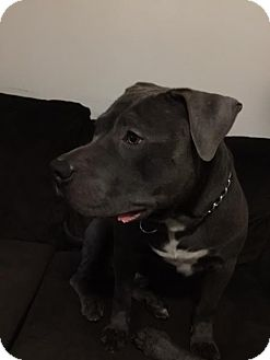 American Staffordshire Terrier Mix Dog for adoption in Manhattan, New York - Lawrence