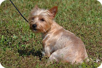 Yorkie, Yorkshire Terrier Dog for adoption in Lebanon, Missouri - Carmon