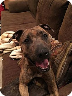 Pit Bull Terrier/Catahoula Leopard Dog Mix Dog for adoption in Vancouver, Washington - Poppy