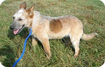 Blue Heeler/Australian Shepherd Mix Dog for adoption in Allentown, New Jersey - Annie