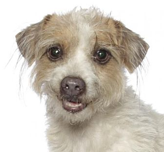 Terrier (Unknown Type, Medium) Dog for adoption in Fort Lauderdale, Florida - Gizmo