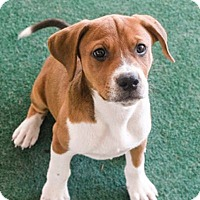 Adopt A Pet :: Chaser - Knoxville, TN