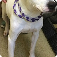 Pit Bull Terrier Mix Dog for adoption in Valley Falls, Kansas - Petey