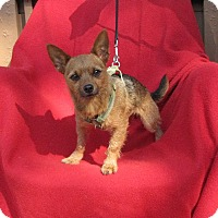 Yorkie, Yorkshire Terrier/Chihuahua Mix Dog for adoption in Springfield, Virginia - Tank