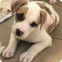 Adopt A Pet :: Wilma 💖 DOB 5/17/17! - Saratoga Springs, NY