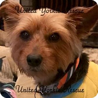Yorkie, Yorkshire Terrier Dog for adoption in Lancaster, Texas - Oliver