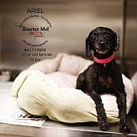Adopt A Pet :: Sescie - Los Angeles, CA