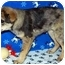 Photo 2 - Australian Cattle Dog/Shepherd (Unknown Type) Mix Puppy for adoption in Broomfield, Colorado - Lobo