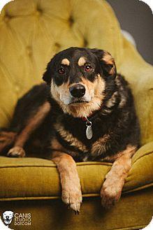 Australian Shepherd/Rottweiler Mix Dog for adoption in Portland, Oregon - Maui