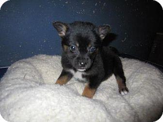 Corgi/Border Collie Mix Puppy for adoption in Chilliwack, British Columbia - yasmin