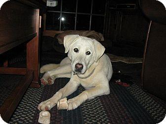 Labrador Retriever Mix Dog for adoption in berwick, Maine - Crystal
