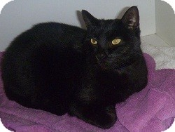Domestic Shorthair Cat for adoption in Hamburg, New York - Pugsley