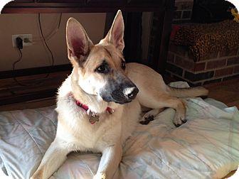 German Shepherd Dog Dog for adoption in Virginia Beach, Virginia - Zorah-IL