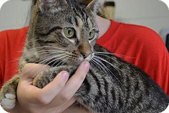 Domestic Shorthair Cat for adoption in Elyria, Ohio - Claudia