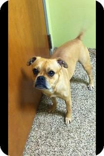 Pug/Beagle Mix Dog for adoption in Franklin, Indiana - ROCKO