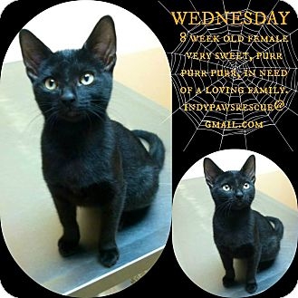 Domestic Shorthair Kitten for adoption in Franklin, Indiana - Wednesday