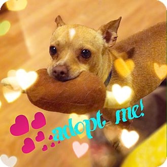 Chihuahua Mix Dog for adoption in Oakland, California - Cricket