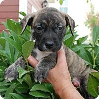 Adopt A Pet :: Dalton - Albany, NY