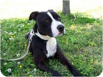 American Staffordshire Terrier Dog for adoption in Marion, Arkansas - Nora - Urgent!