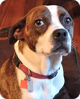 Boxer/Bull Terrier Mix Dog for adoption in Creedmoor, North Carolina - Buddy