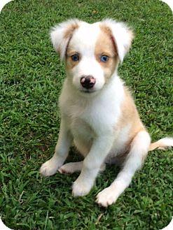 Australian Shepherd Mix Puppy for adoption in Richmond, Virginia - Astro