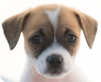 Beagle Mix Puppy for adoption in Irvine, California - FRECKLES