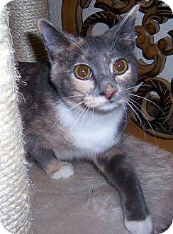 Calico Cat for adoption in Oklahoma City, Oklahoma - Cher
