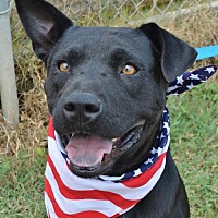 Labrador Retriever/Terrier (Unknown Type, Medium) Mix Dog for adoption in Liverpool, Texas - ROCCO