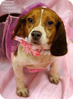 Beagle Dog for adoption in Newnan City, Georgia - Nutmeg
