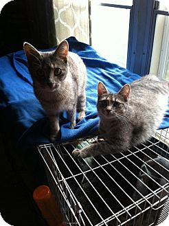 Domestic Shorthair Kitten for adoption in Henderson, North Carolina - Gertie & 2 Kittens(Ash & Cedar