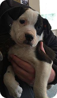 American Bulldog Mix Puppy for adoption in Powder Springs, Georgia - Hank