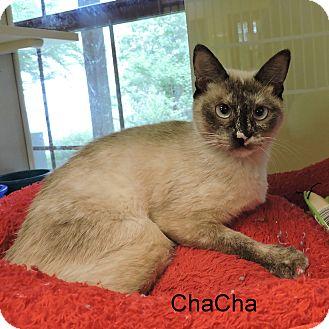 Siamese Cat for adoption in Slidell, Louisiana - ChaCha