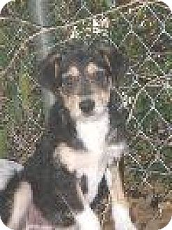 Wirehaired Fox Terrier Puppy for adoption in DeLand, Florida - Freddy