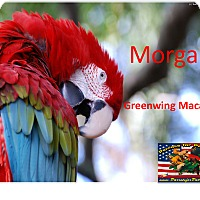 "Adopt A Pet :: ""Morgan"" Greenwing - Vancouver, WA"