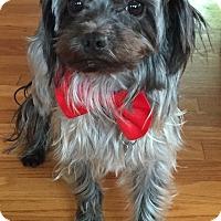 Adopt A Pet :: Bear - Chicago, IL
