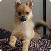 Adopt A Pet :: Hosmer - Shawnee Mission, KS