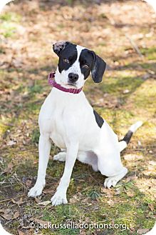 Pointer Dog for adoption in Conyers, Georgia - Jax