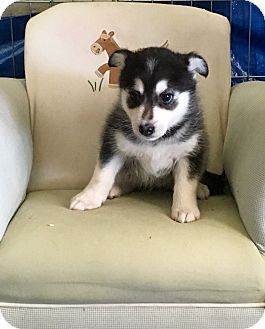 Husky/Manchester Terrier Mix Puppy for adoption in Encino, California - Shanook