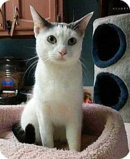 Domestic Shorthair Cat for adoption in Washingtonville, New York - Sassy