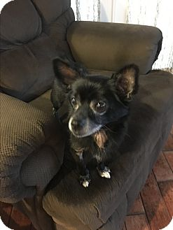 Chihuahua Mix Dog for adoption in Lehigh, Florida - Blackberry