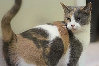 Calico Cat for adoption in Houston, Texas - CHARLOTTE