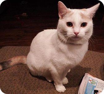 Calico Cat for adoption in Greensburg, Pennsylvania - Ginger