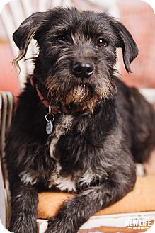 Wheaten Terrier/Schnauzer (Standard) Mix Dog for adoption in Portland, Oregon - Turner
