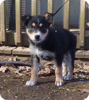 German Shepherd Dog Mix Puppy for adoption in Newburgh, New York - Heidi