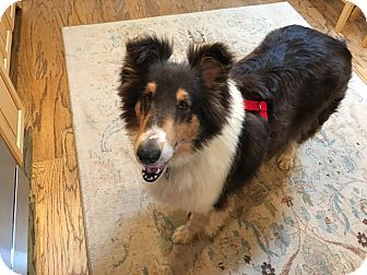 Collie Dog for adoption in Powell, Ohio - Poppie