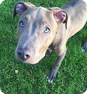 American Staffordshire Terrier/American Pit Bull Terrier Mix Puppy for adoption in North Olmsted, Ohio - Norman