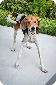 Foxhound/Hound (Unknown Type) Mix Dog for adoption in Prince George, Virginia - Castrol