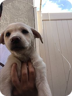 Labrador Retriever/Retriever (Unknown Type) Mix Puppy for adoption in LAKEWOOD, California - Lady