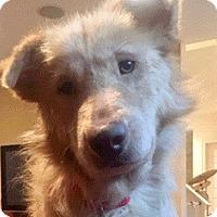 Adopt A Pet :: Bear - Bedford Hills, NY