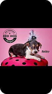 Miniature Pinscher/Labrador Retriever Mix Puppy for adoption in Charleston, West Virginia - Bailey